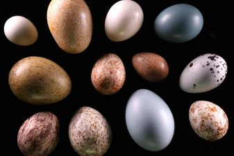 Eggs from Oology Collection, Illinois State Museum